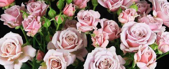 Роза Пинк Ессенс 2