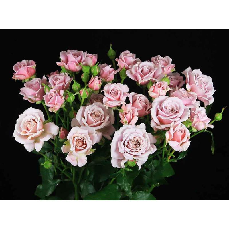 Роза Пинк Ессенс изображение 1