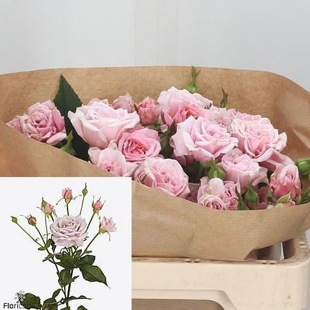 Роза Пинк Ессенс изображение 2