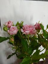 Роза Пинк Ессенс 3