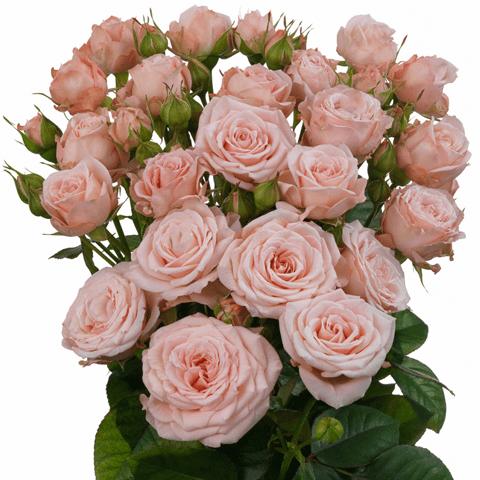Роза Пинк Ессенс изображение 4