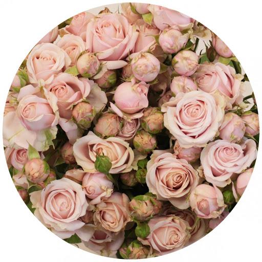 Роза Пинк Ессенс 1