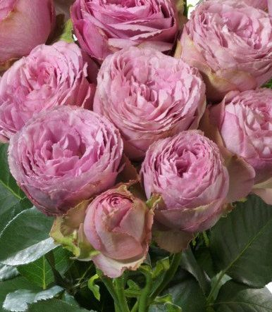 Роза Пинк Лейс 3