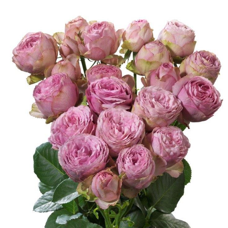 Роза Пинк Лейс изображение 1