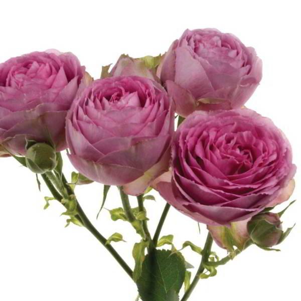 Роза Пинк Лейс 2