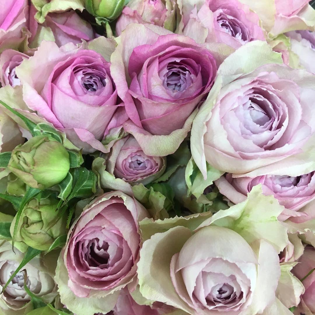 Роза Пинк Лейс 1