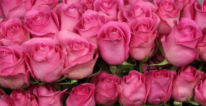 Роза Пинк Мартини 1