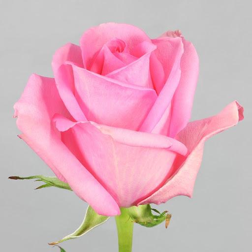 Роза Пинк Мартини 2