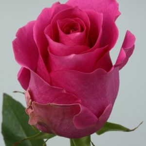 Роза Пинк Мартини 3