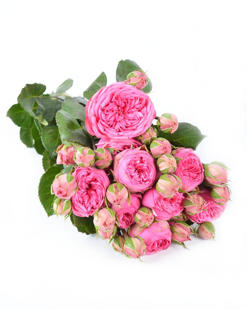 Роза Пинк Пиано изображение 1