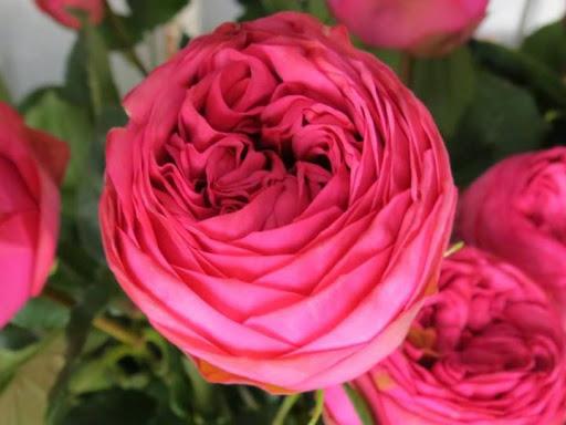 Роза Пинк Пиано 2