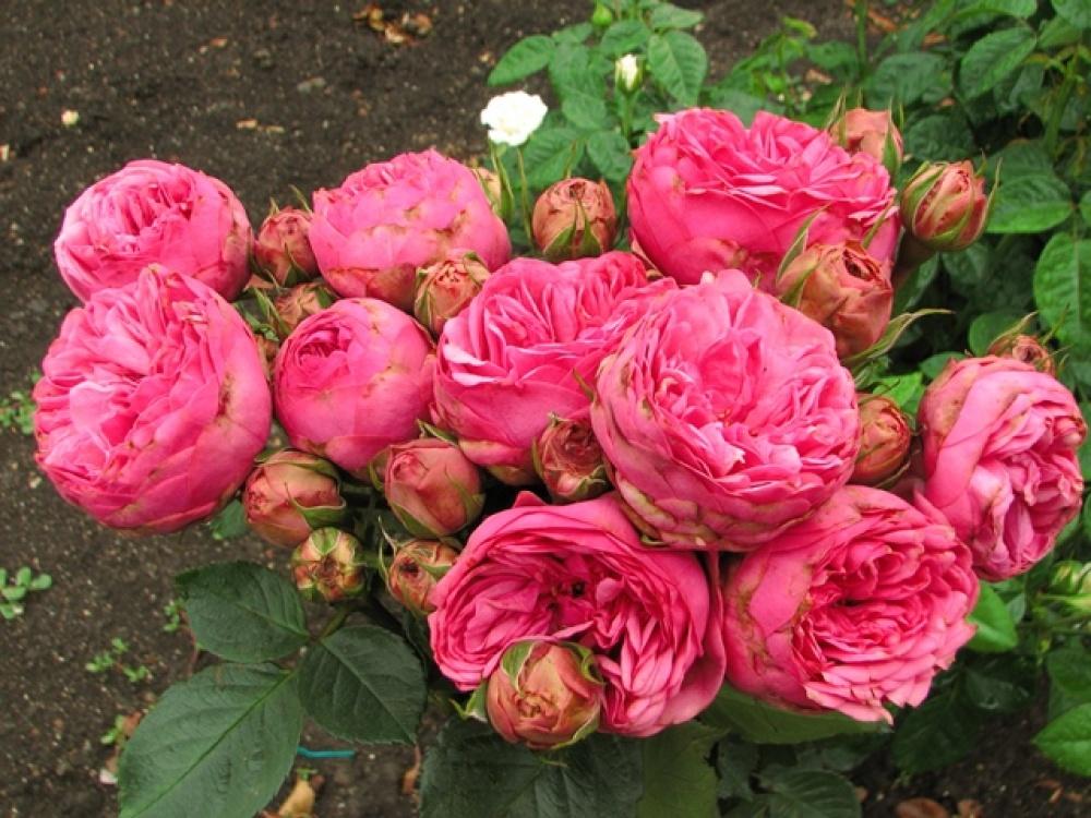 Роза Пинк Пиано 1