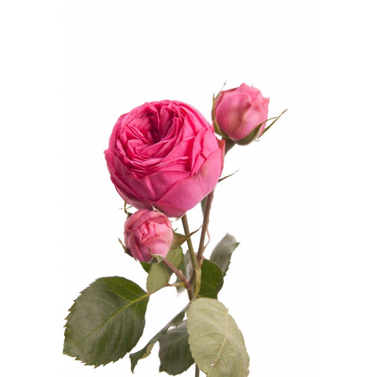 Роза Пинк Пиано 3