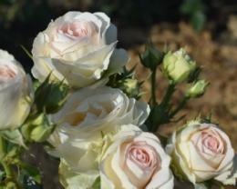 Роза Порселейн Лейс
