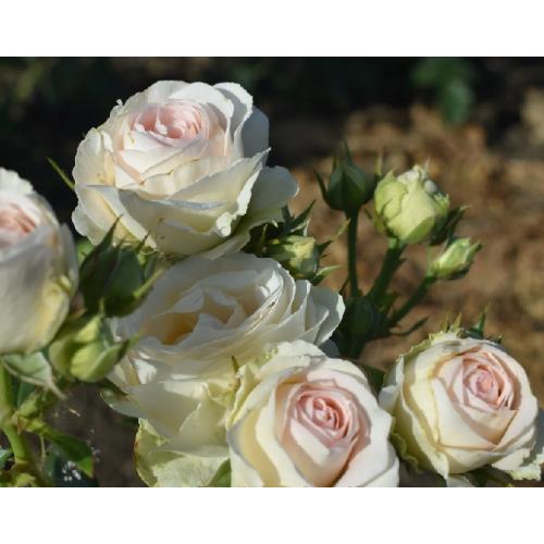 Роза Порселейн Лейс 1