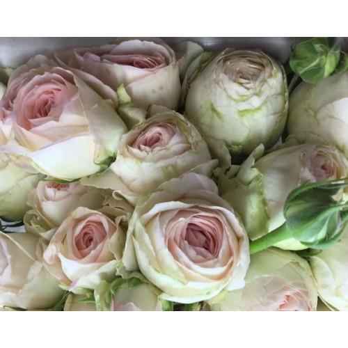 Роза Порселейн Лейс 2