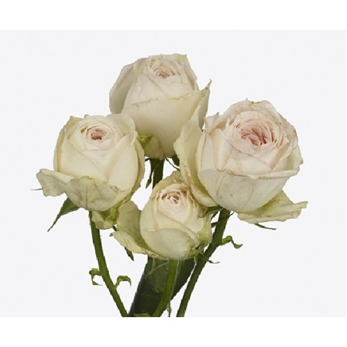 Роза Порселейн Лейс 3