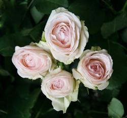 Роза Порселейн Лейс 4