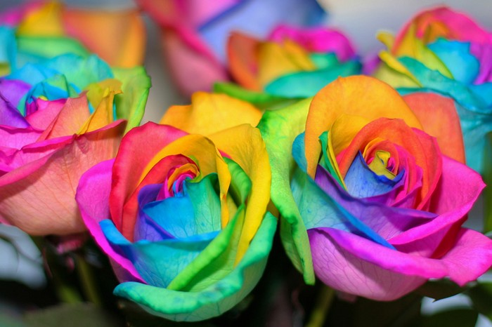 Роза Радуга изображение 3