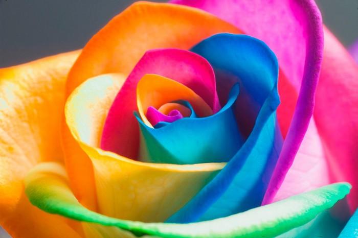 Роза Радуга изображение 4