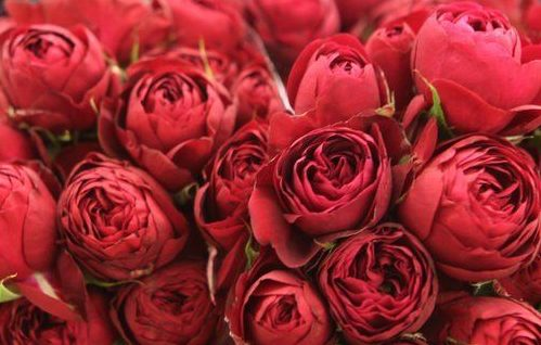 Роза Ред Лейс 2
