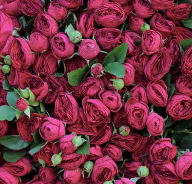 Роза Ред Лейс 3
