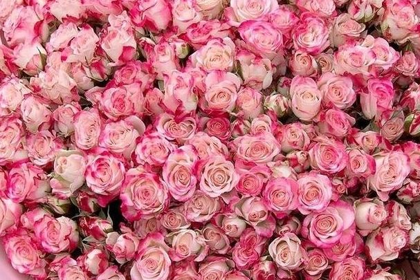 Роза Рефлекс 3