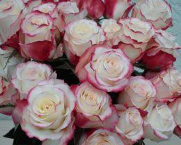 Роза Рефлекс