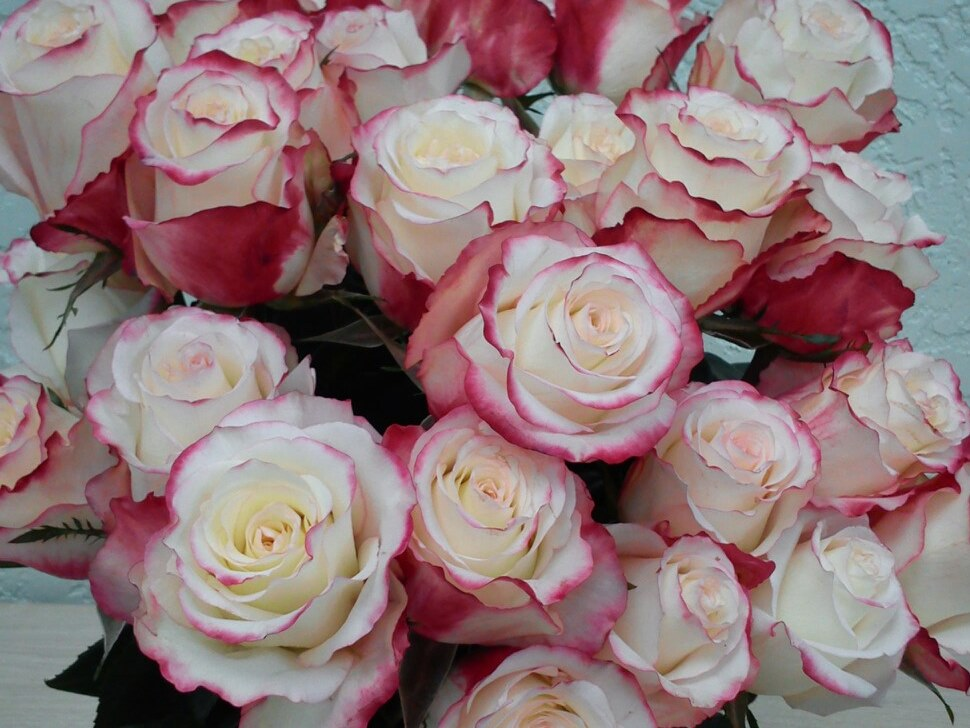 Роза Рефлекс 1