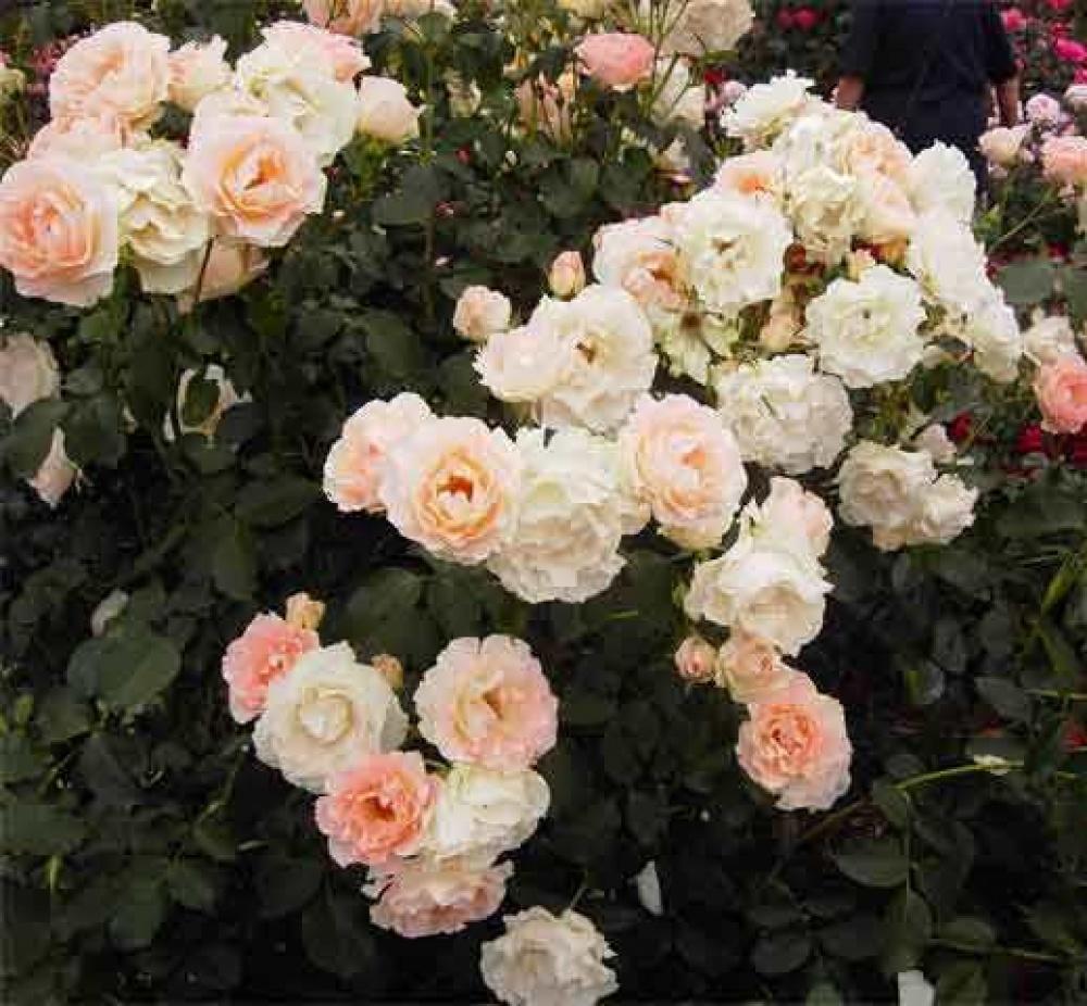 Роза Рококо изображение 1