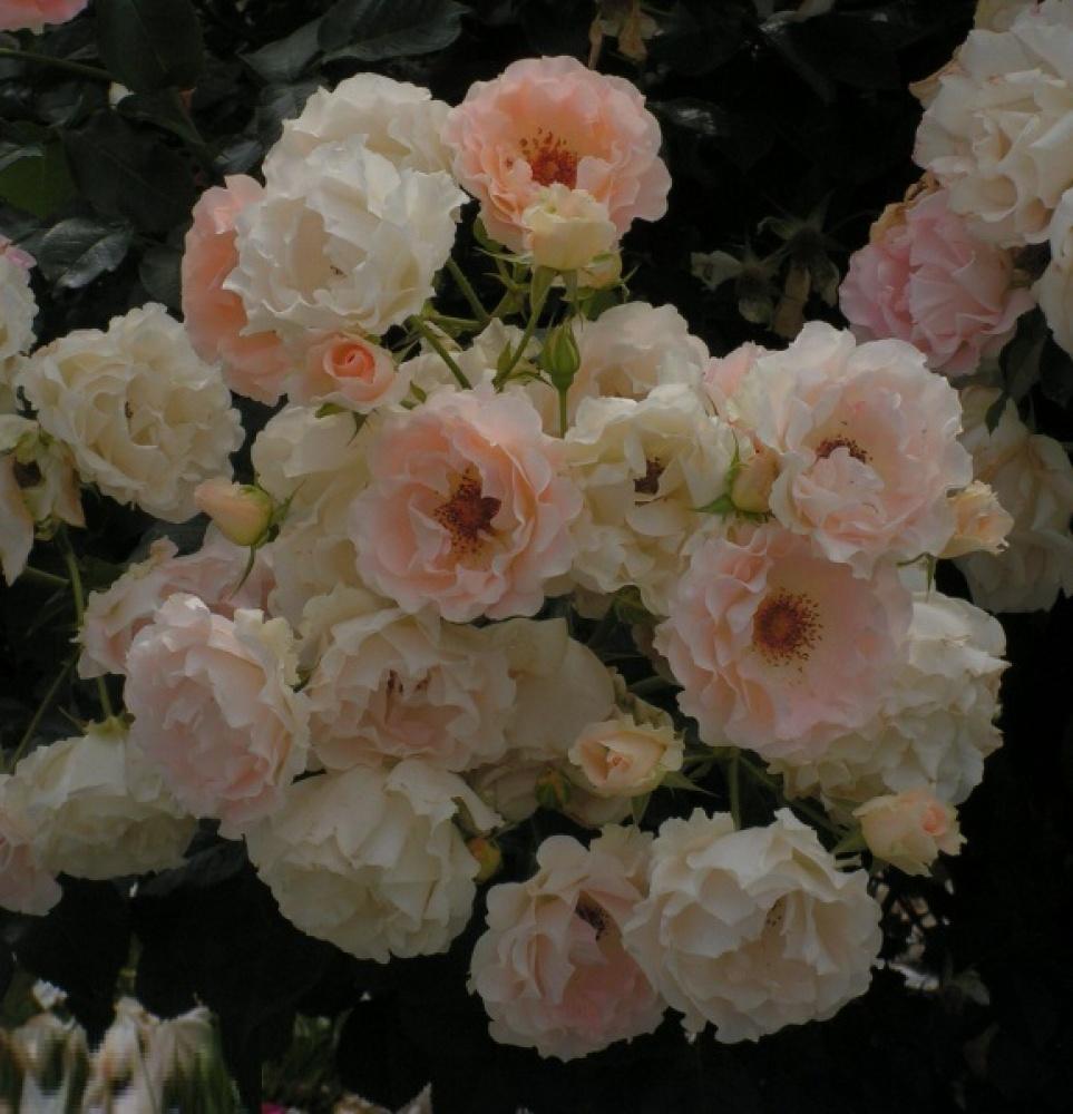 Роза Рококо изображение 2