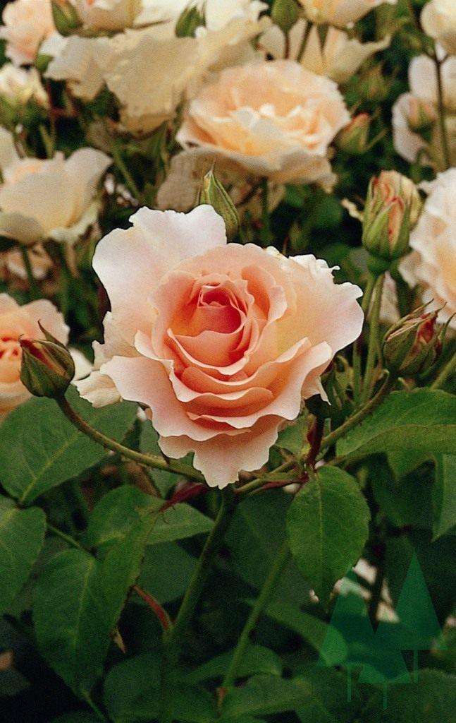 Роза Рококо изображение 4