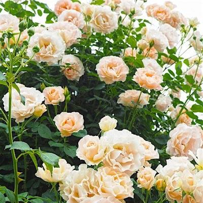 Роза Рококо изображение 3