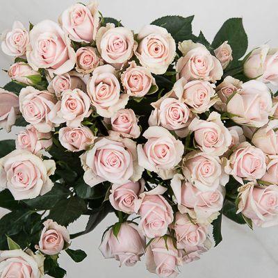 Роза Роял Порселина изображение 1