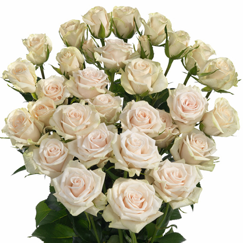 Роза Роял Порселина изображение 2
