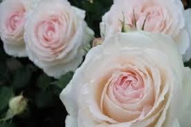 Роза Роял Порселина изображение 3