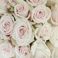 Роза Роял Порселина изображение 4