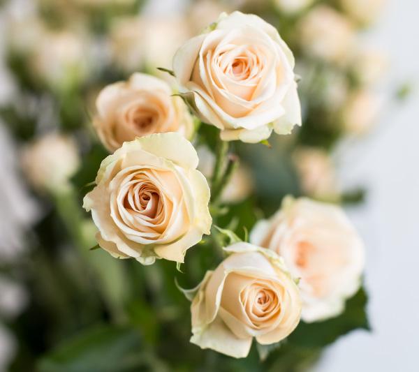 Роза Роял Порселина 1