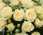 Роза Салинеро