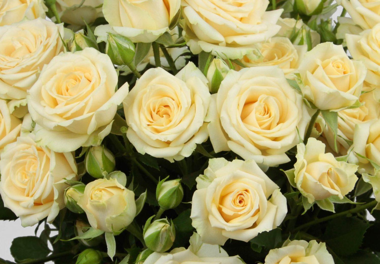 Роза Салинеро 1