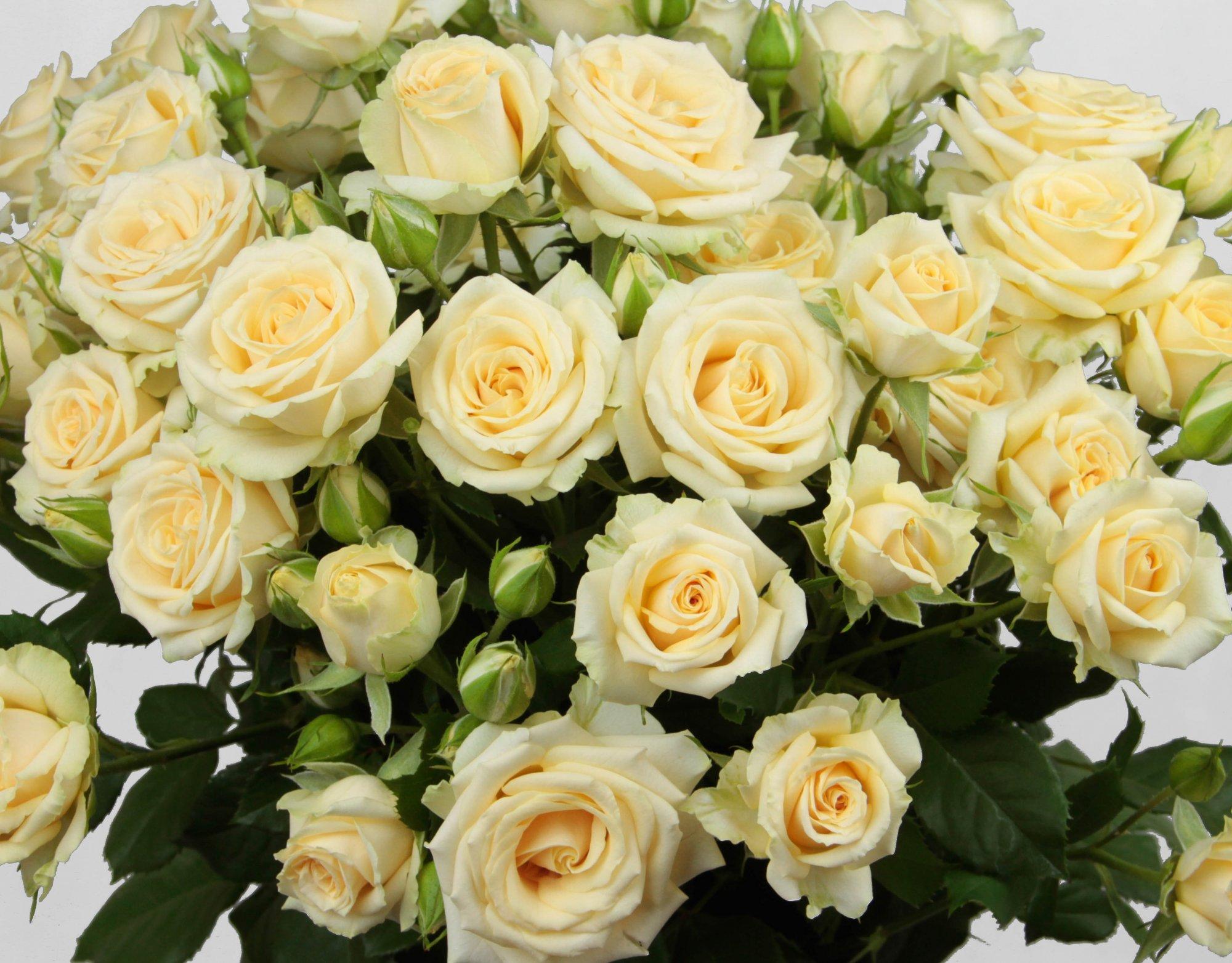 Роза Салинеро изображение 4