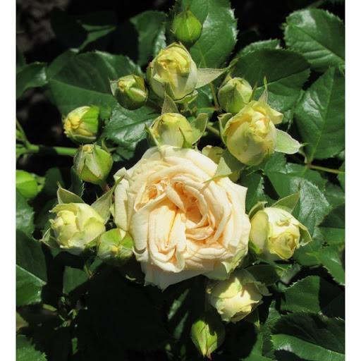 Роза Салинеро 2