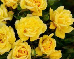 Роза Саммер