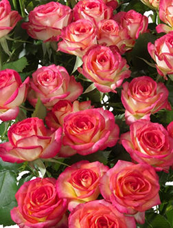 Роза Саммер Дэнс 3