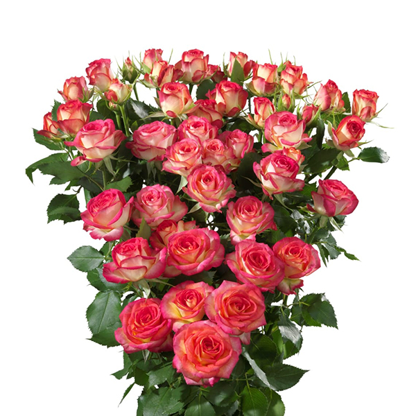 Роза Саммер Дэнс изображение 1