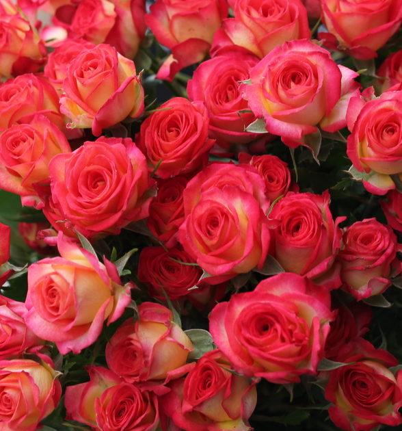 Роза Саммер Дэнс 1