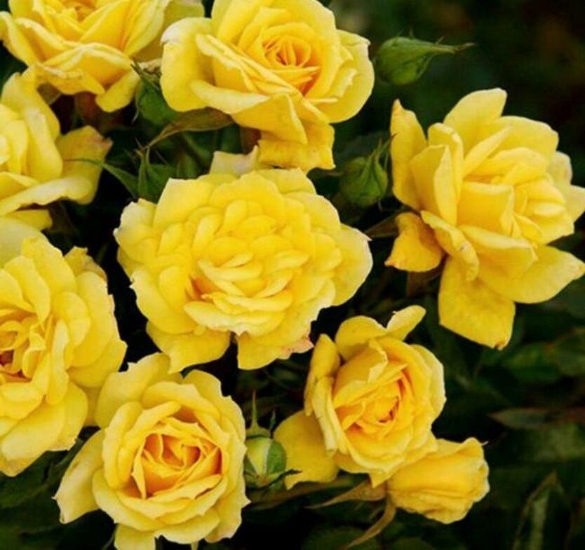 Роза Саммер 1