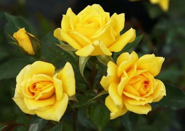 Роза Саммер 2