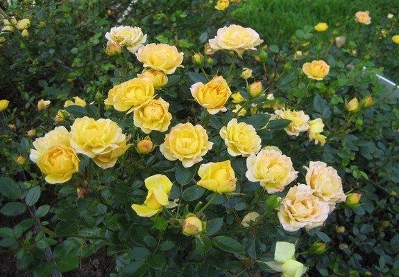 Роза Саммер 3