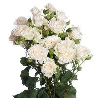 Роза Сноу Бабл 3